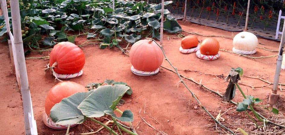 Vườn bí ngô khổng lồ tại Đà Lạt