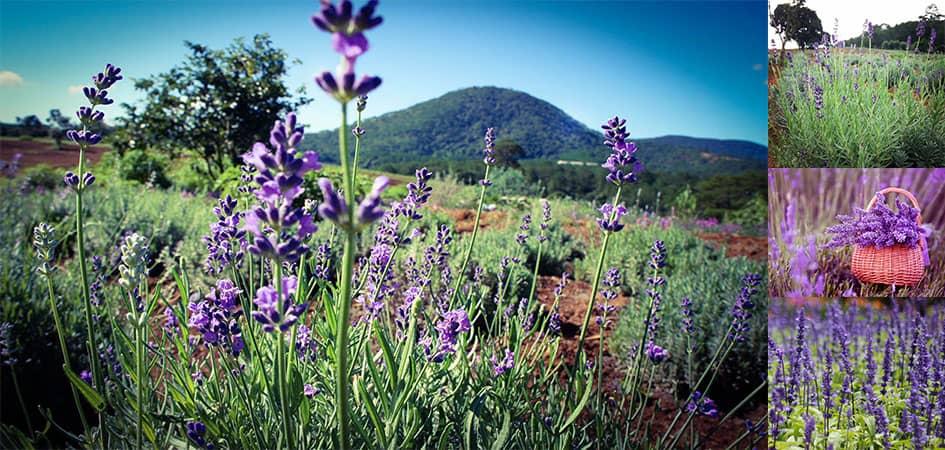 Cánh đồng hoa Oải Hương - Lavender Đà Lạt